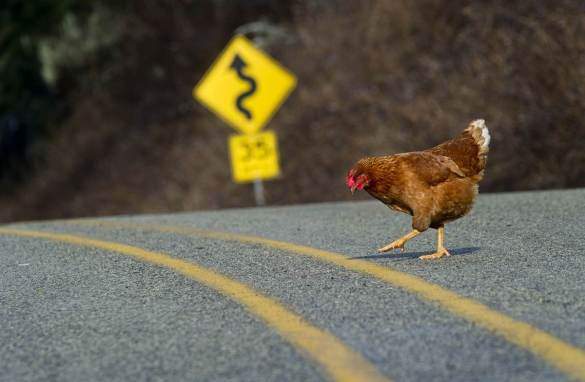 Chicken crossing the road2